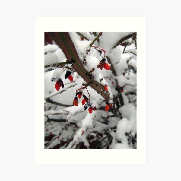 Snow on the Berries Art Print