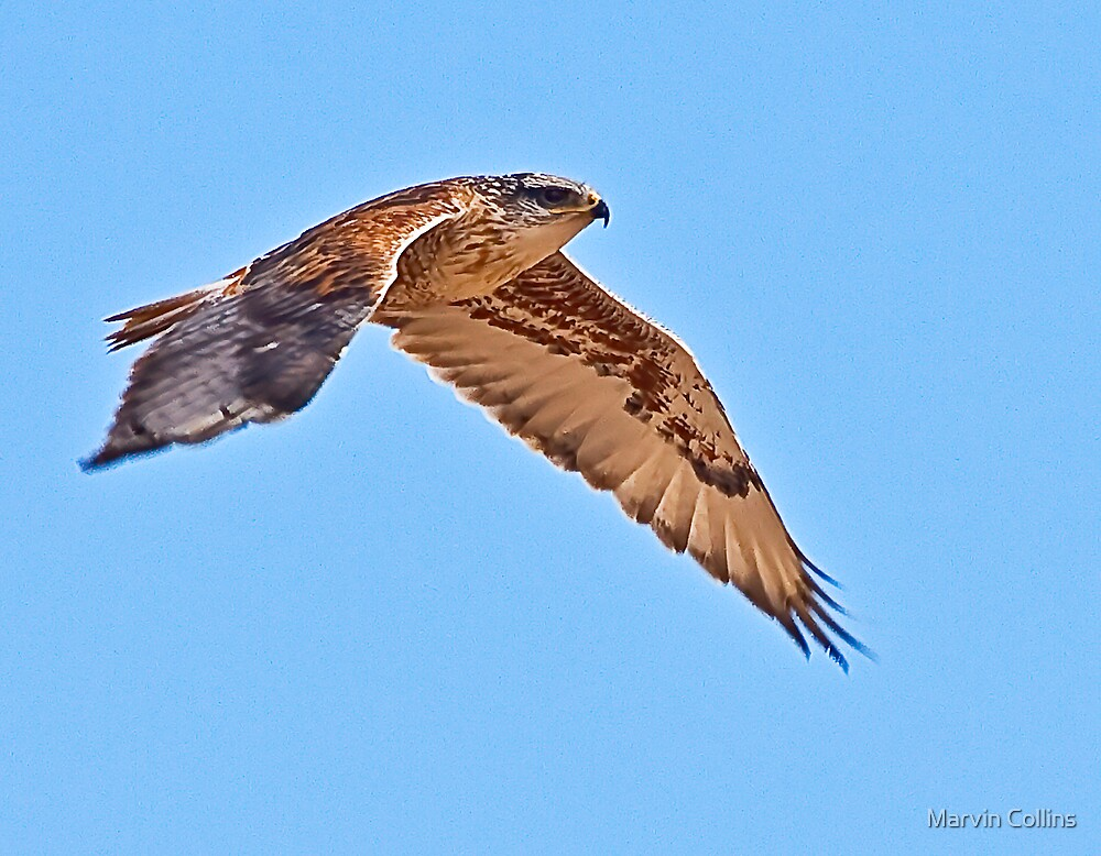 Ferruginous Hawk by Marvin Collins