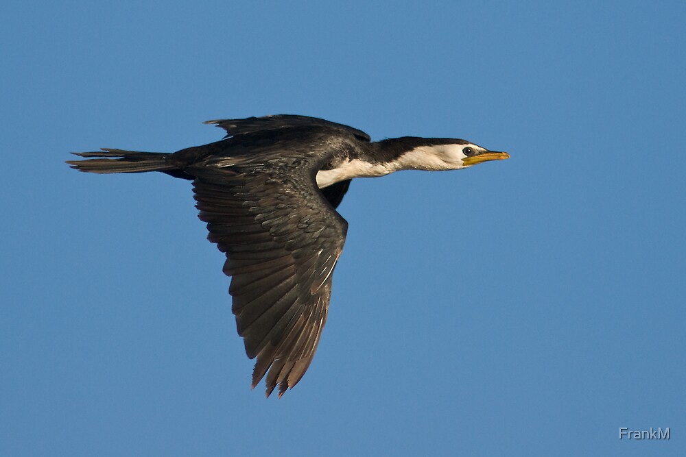 Little pied cormorant by FrankM