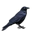 black crow by ketut suwitra