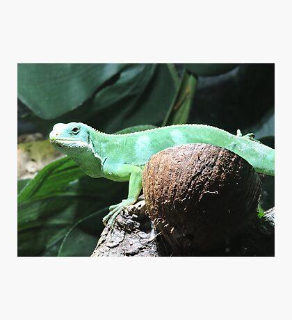 Lime & Coconut (Fiji Banded Iguana) Photographic Print