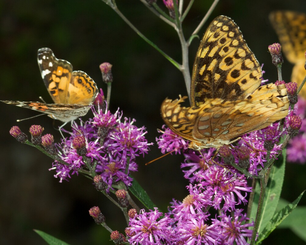 Two Butterflies Chilhowee Forest by John O'Keefe-Odom