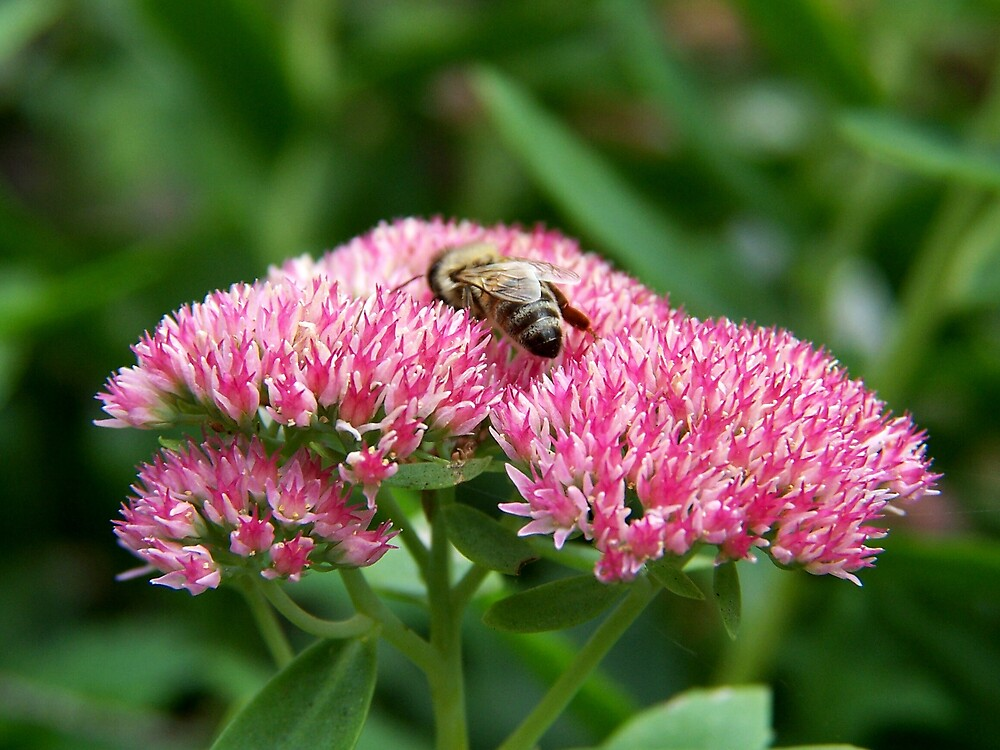 Sedum and the bee by madmac57