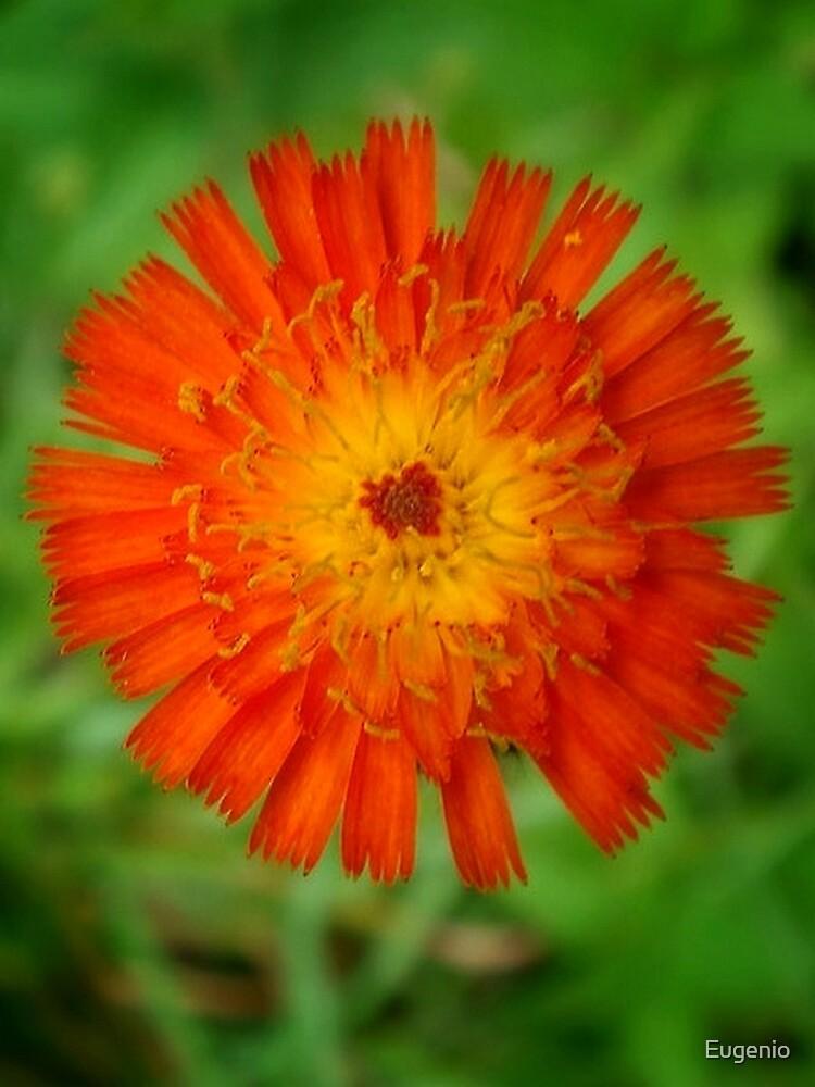 Orange Flower.. by Eugenio