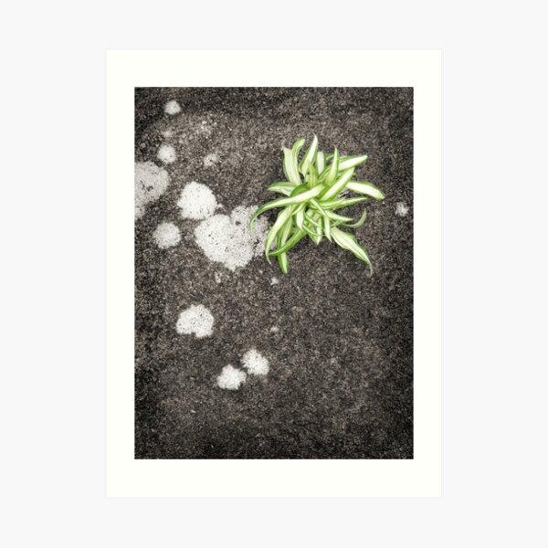 Chlorophytum Art Print
