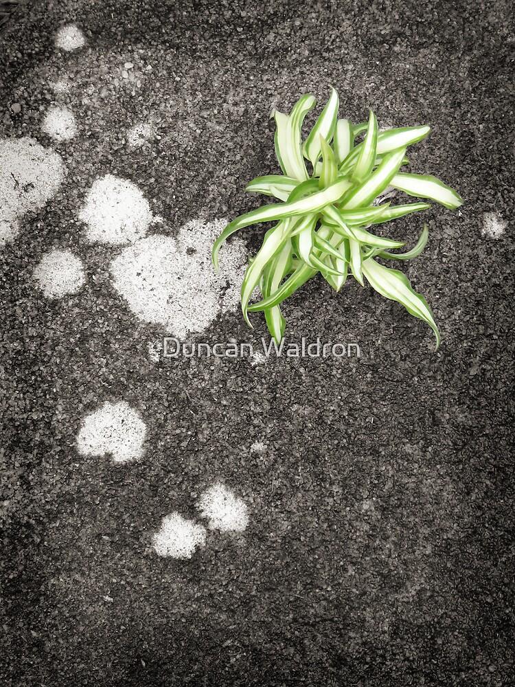 Chlorophytum by Duncan Waldron