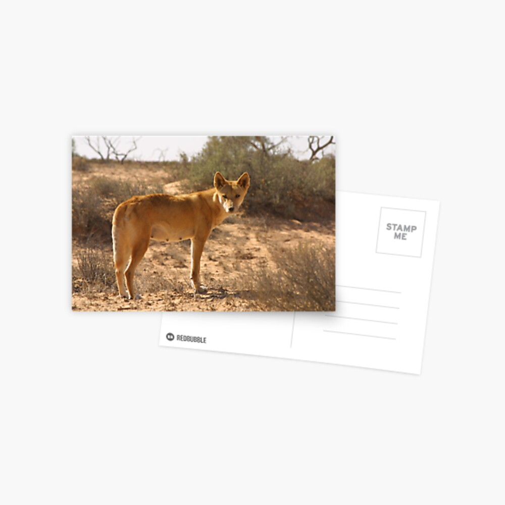 Dingo in the desert Postcard