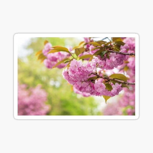 flowers of apple tree in sunlight Sticker