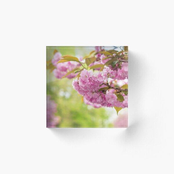 flowers of apple tree in sunlight Acrylic Block