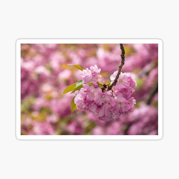 pink flowers on sakura branches Sticker