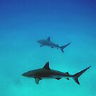 Caribbean reef sharks by TaiHaku