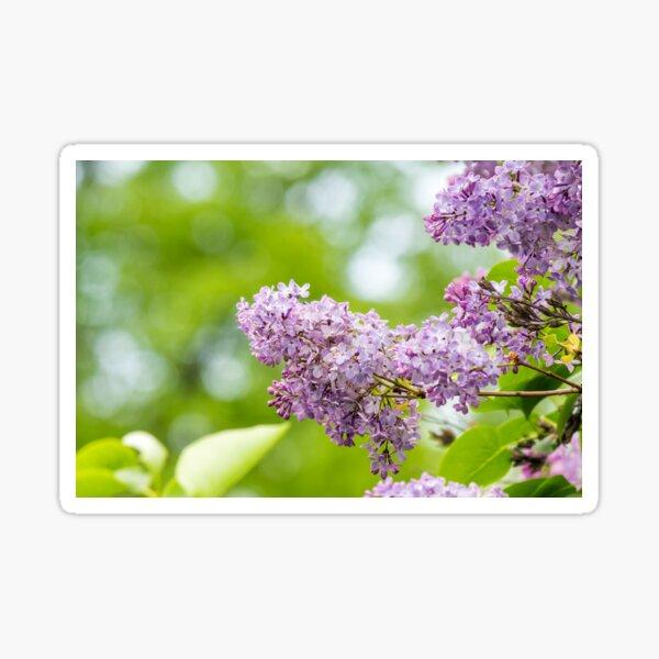 purple lilac on green blurred background  Sticker
