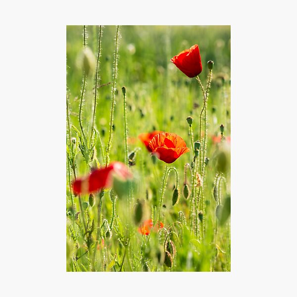 red poppy in the wheat field Photographic Print