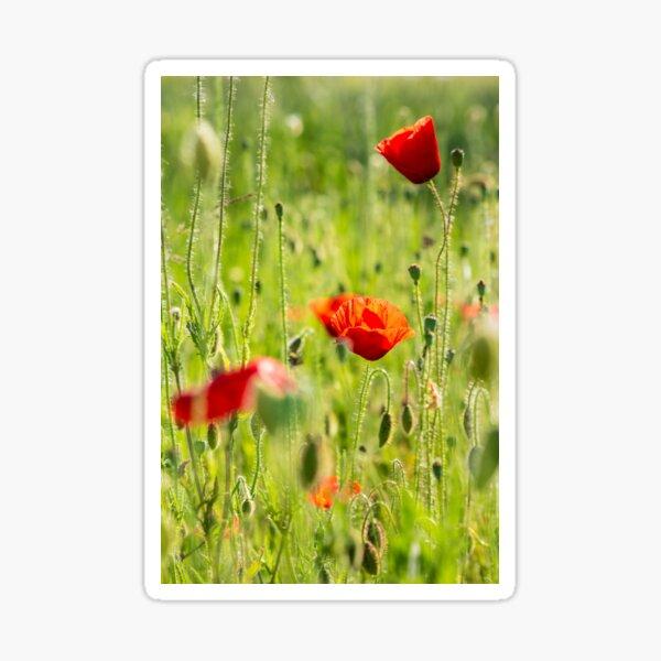 red poppy in the wheat field Sticker