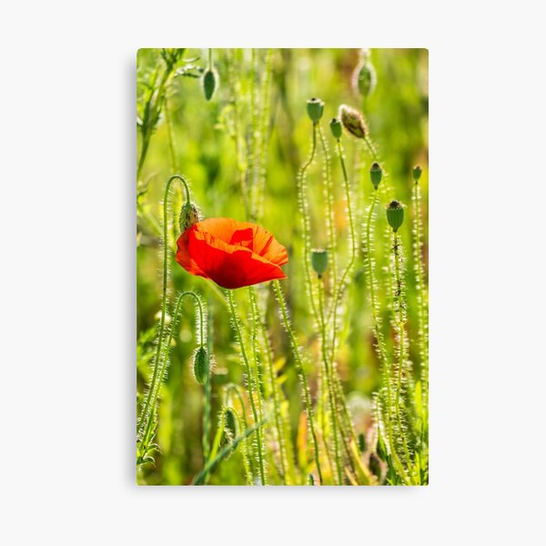 red poppy in the wheat field Canvas Print