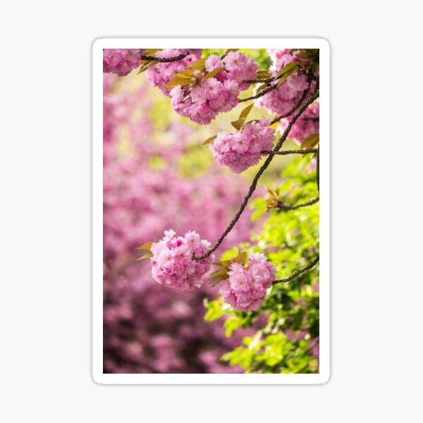 pink flowers of sakura branches above grass Sticker