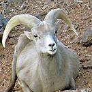 Desert Bighorn Ram Sheep by kkphoto1