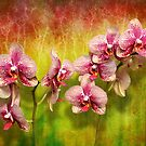 Orchid - Phalaenopsis - Simply a delight by Michael Savad