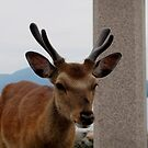 focus deer by Perggals© - Stacey Turner
