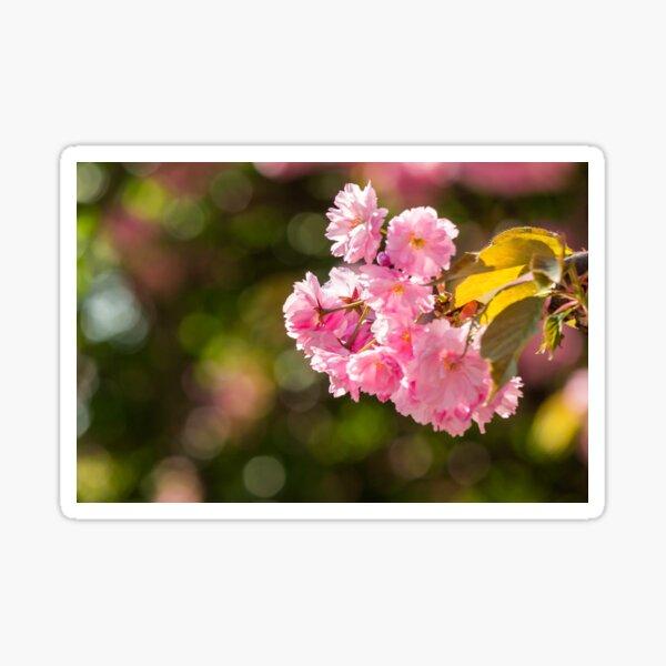 pink flowers of sakura branches Sticker