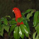 Male King Parrot in Umbrella Tree #1 by Bev Pascoe