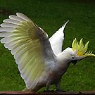 Sulphur Crested Cockatoo #10 by Bev Pascoe