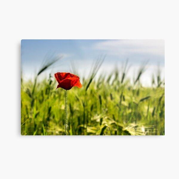 red poppy in the wheat field Metal Print