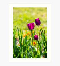 purple tulip on blurred background of grass  Art Print