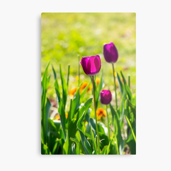 purple tulip on blurred background of grass  Metal Print