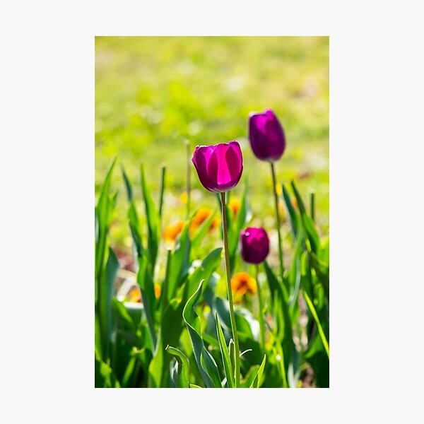 purple tulip on blurred background of grass  Photographic Print