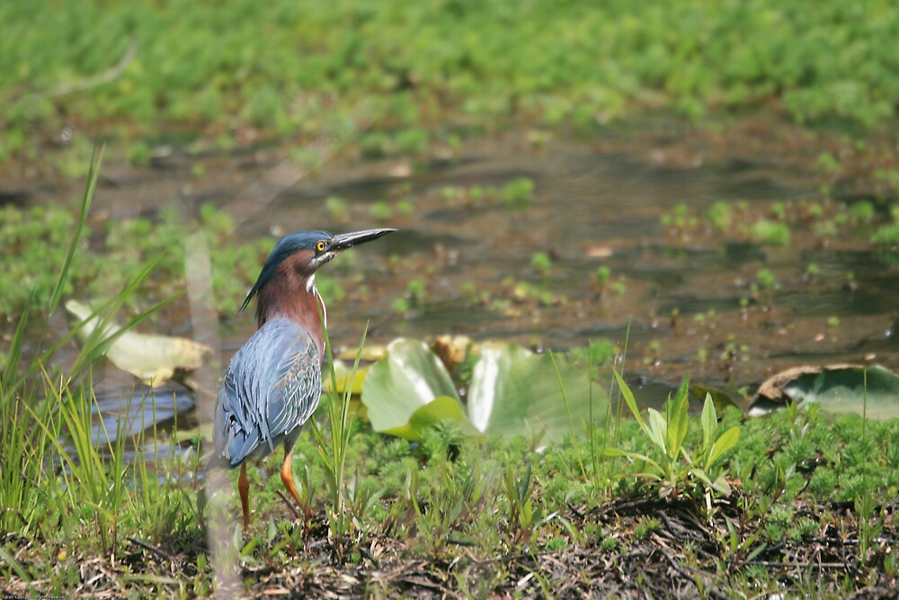 Green Heron On the Hunt by Karen Kaleta