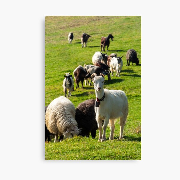 portrait of a white goat with a bell on a glade Canvas Print