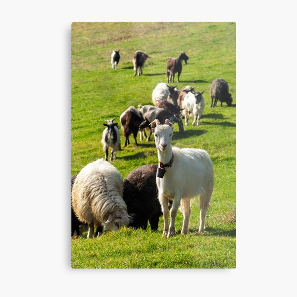 portrait of a white goat with a bell on a glade Metal Print