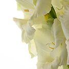 Gladiolus Glow by Ann Garrett
