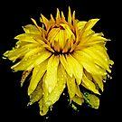 Yellow Dahlia With Raindrops by Lynda Anne Williams