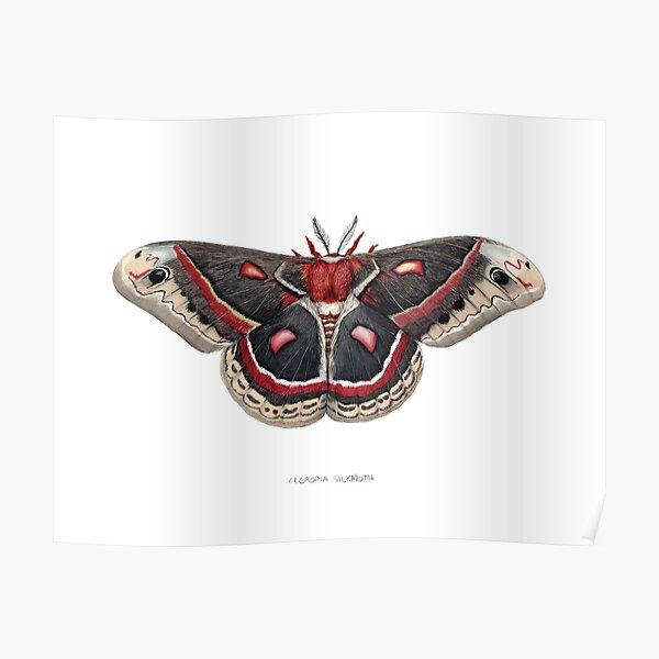 Cecropia Silkmoth  Poster