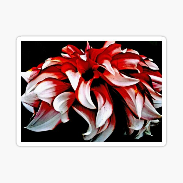 Red And White Dahlia Sticker