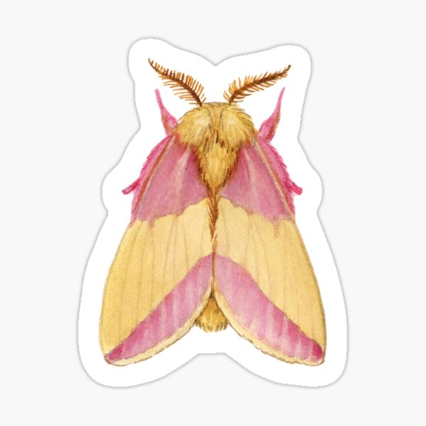 Rosy Maple Moth (Dryocampa rubicunda) Sticker