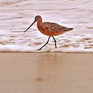 Marbled Godwit (Limosa fedoa)  Pt. Mugu Beach California by Buckwhite