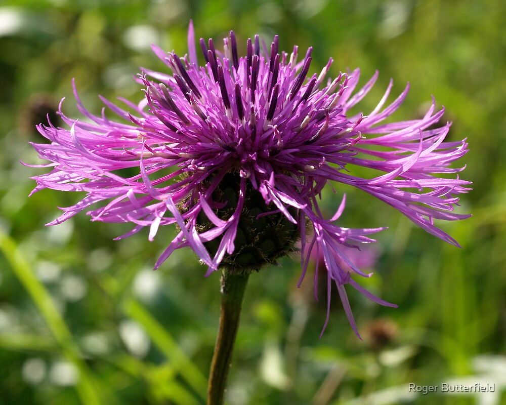 Greater Knapweed by Roger Butterfield