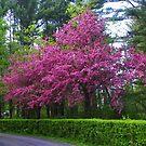 Schöner Crabapple Baum von MaryinMaine