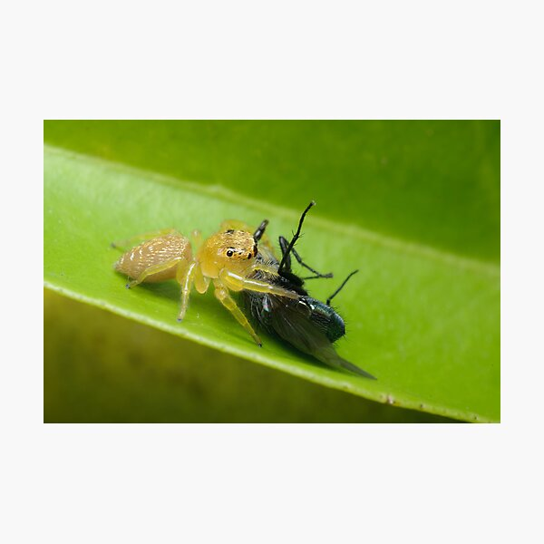 Jumping Spider with Prey Photographic Print