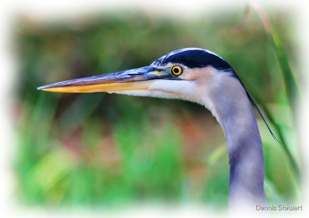 The Mighty Great Blue Heron by Dennis Stewart