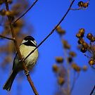 Black-capped Chickadee by blew12bandit