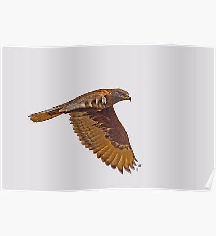 Ferruginous Hawk (Dark Morph) Poster