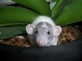 dumbo rat by JF176866