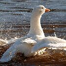Ablutive Goose! by dougie1