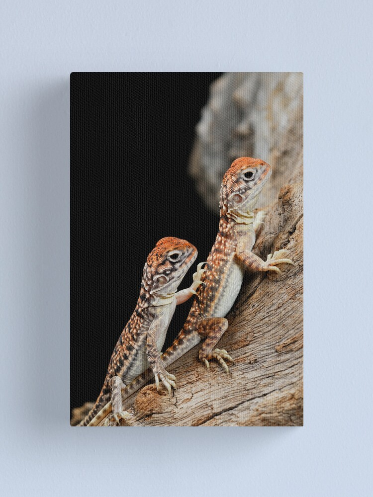 Alternate view of Central Netted Dragons [Ctenophorus nuchalis] Canvas Print