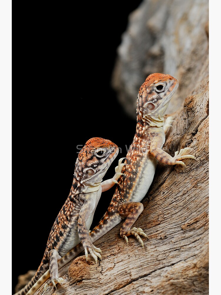 Central Netted Dragons [Ctenophorus nuchalis] by ShannonPlummer