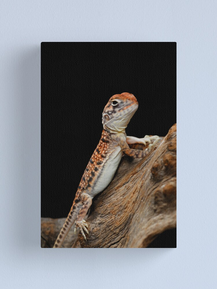 Alternate view of Central Netted Dragon [Ctenophorus nuchalis] Canvas Print
